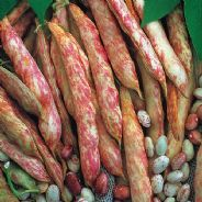Dwarf French Bean Borlotto - Lingua Di Fuoco - 500 grams - Bulk Discounts Available